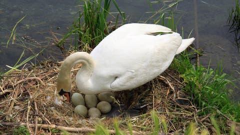 manfaat telur angsa